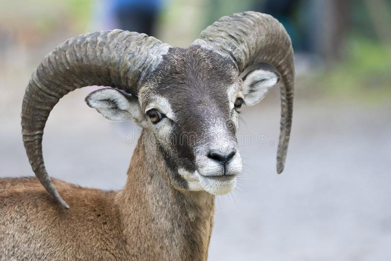 Europeisk mouflon - Ovis - orientalismusimon royaltyfri fotografi
