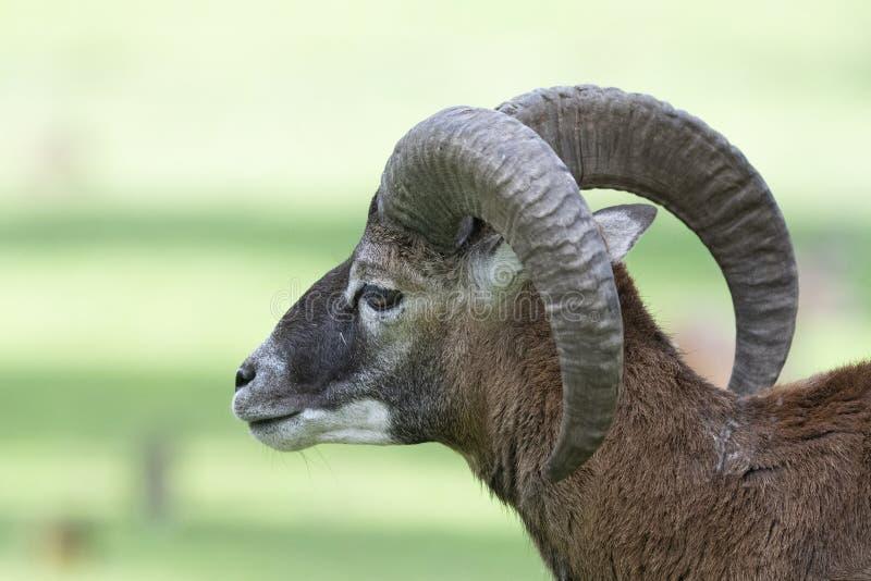 Europeisk mouflon - Ovis - orientalismusimon royaltyfri foto