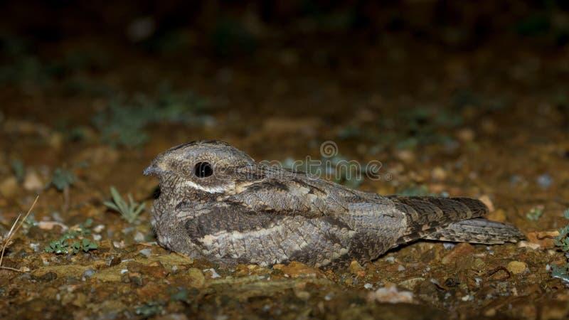 Europeisk NightjarCaprimulguseuropaeus arkivfoto