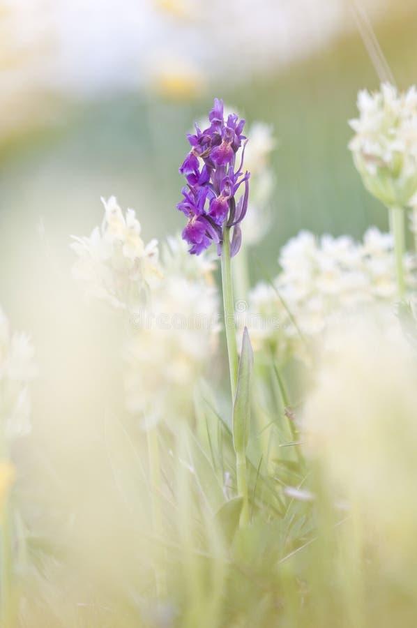 europeisk orchid arkivbilder