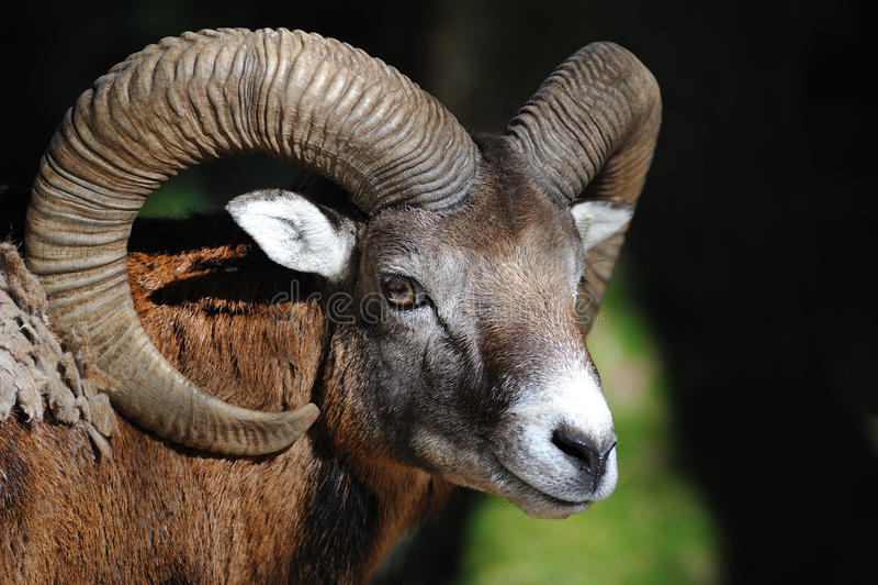 europeisk ovis för mouflonmusimoorientalis arkivfoton
