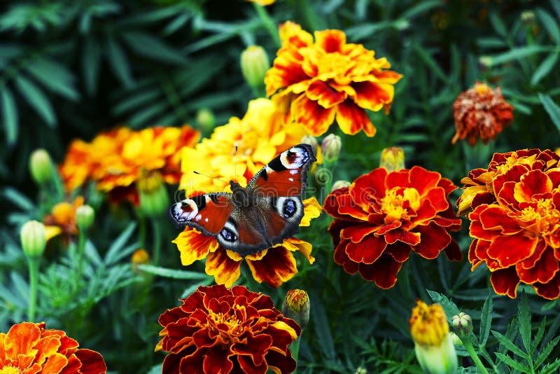 Europeisk påfågelAglais io fjäril på den Tagetes blomman royaltyfri foto