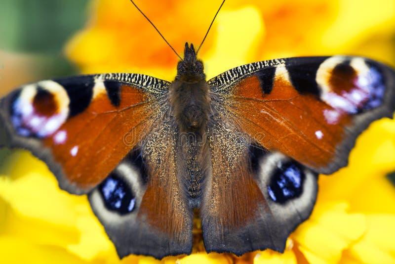 Europeisk påfågelfjäril på den Tagetes blomman, selektiv fokus royaltyfria foton