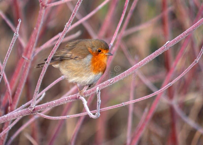 Europeisk rödhake - Erithacusrubeculaen på en täckt färgglad frost fattar royaltyfri fotografi