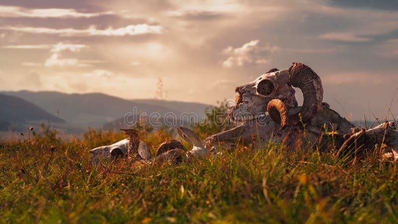 Europeisk RAMskalle i gräs royaltyfria foton