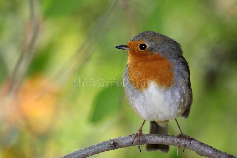 europeisk robin royaltyfria foton