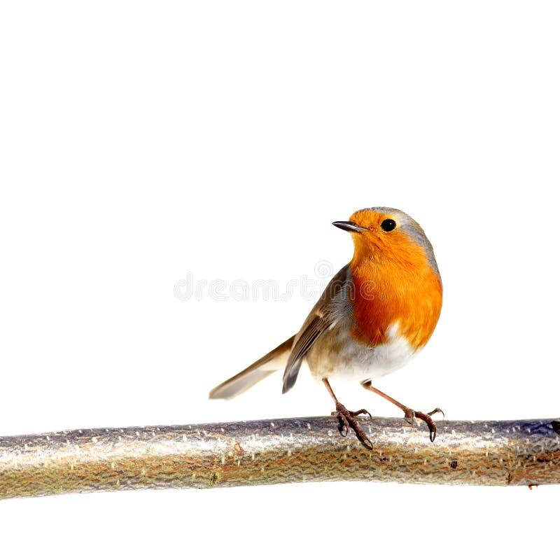 europeisk robin arkivfoton