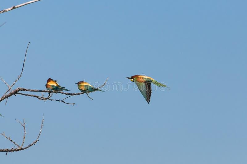 Europeisk rulle, fåglar royaltyfria bilder