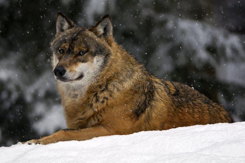 europeisk snowwolf arkivfoto
