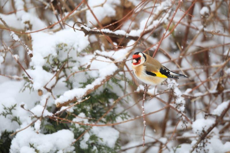 Europeisk steglits för liten fågel i vinter royaltyfri bild