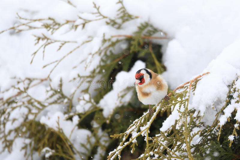 Europeisk steglits för liten fågel i vinter arkivfoton