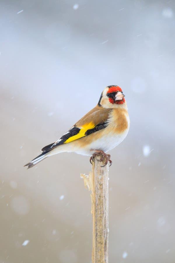 Europeisk steglits för liten fågel i vinter arkivfoto