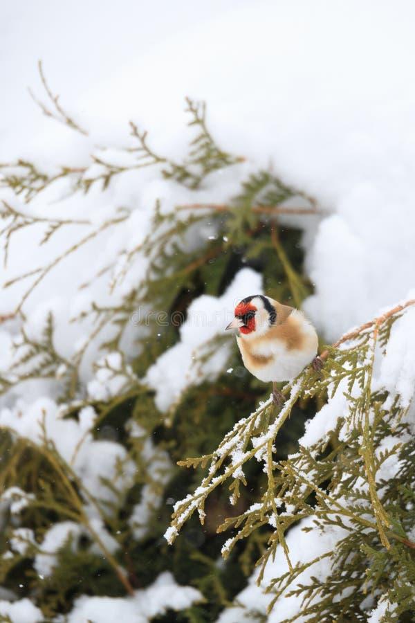 Europeisk steglits för liten fågel i vinter arkivbild