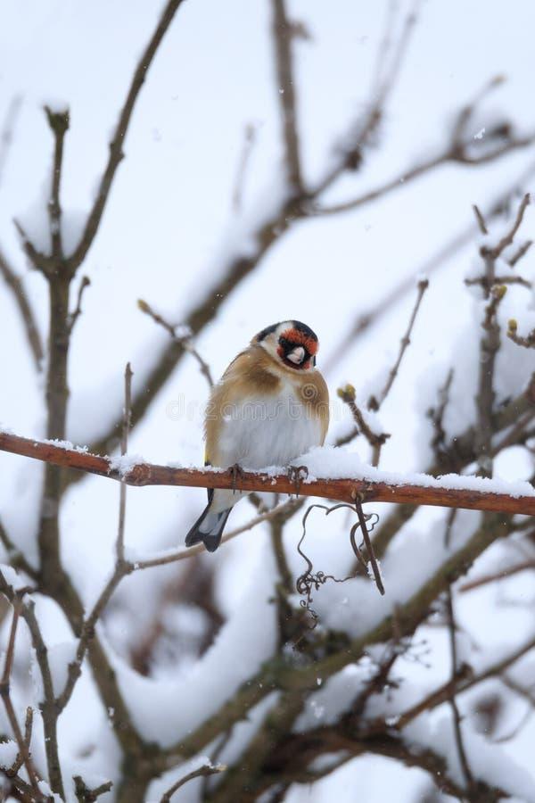 Europeisk steglits för liten fågel i vinter royaltyfri foto