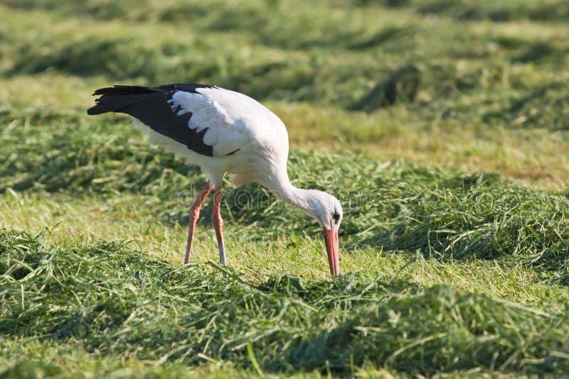 europeisk storkwhite arkivfoto