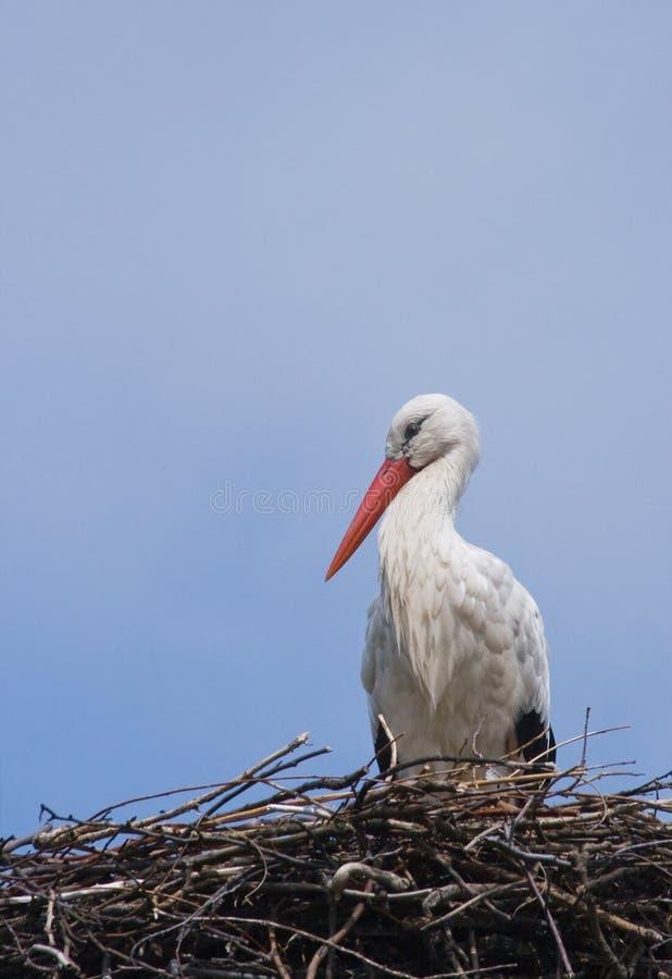 europeisk storkwhite royaltyfri fotografi