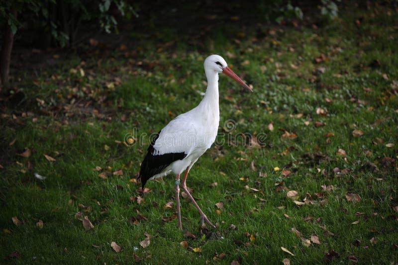 europeisk storkwhite royaltyfria foton
