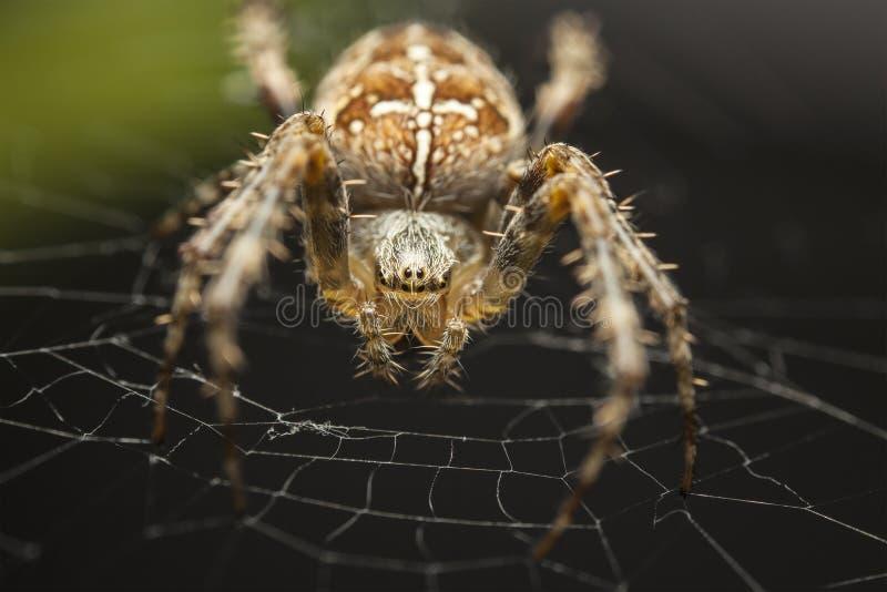 Europeisk trädgårds- spindel, Araneus Diadematus royaltyfri bild