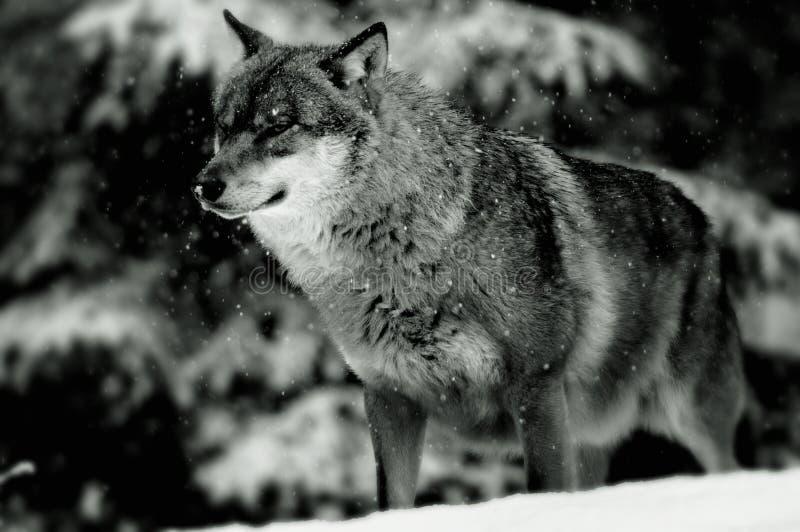 europeisk vinterwolf arkivfoton