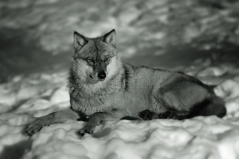 europeisk vinterwolf arkivfoto