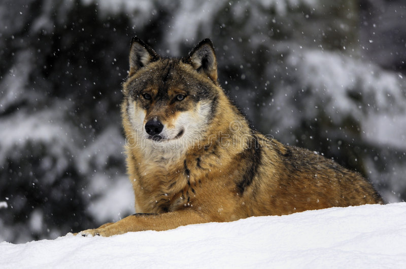 europeisk vinterwolf royaltyfria bilder