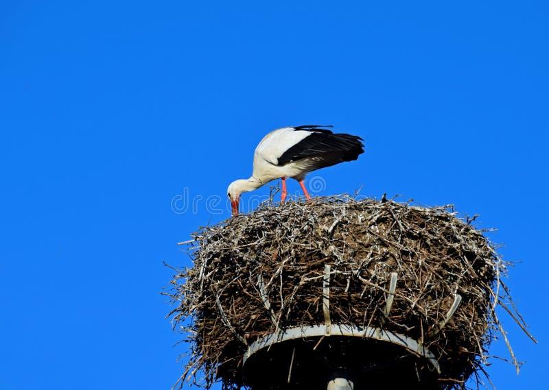 Europeisk vit stork i redet arkivbilder