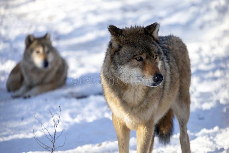 europeisk wolf royaltyfria bilder