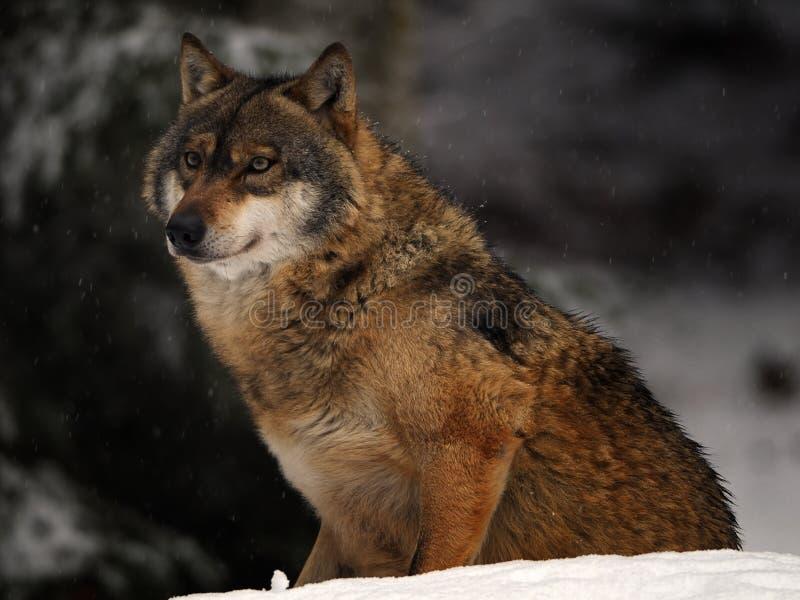 europeisk wolf arkivbild