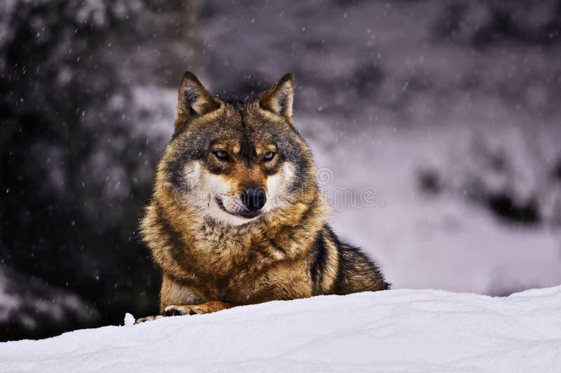 europeisk wolf royaltyfri foto