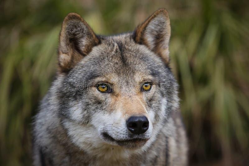 europeisk wolf fotografering för bildbyråer