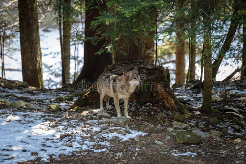 europeisk wolf arkivfoto