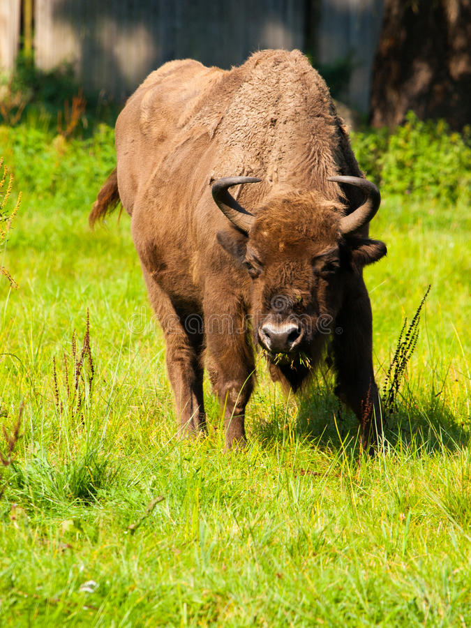 Europeisk Wood bison royaltyfria bilder