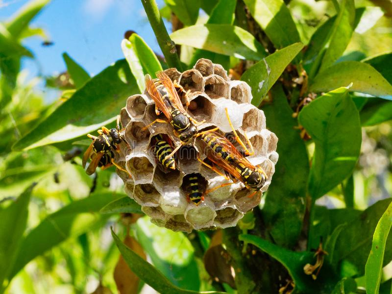 Europeiska getingar som matar larver i mång- cellrede fotografering för bildbyråer