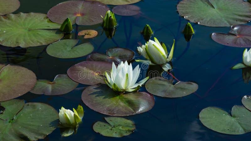 Europeiska vita Waterlily, vattenros eller Nenuphar, Nymphaeaalbum, blommor på dammnärbilden, selektiv fokus, grund DOF royaltyfria bilder