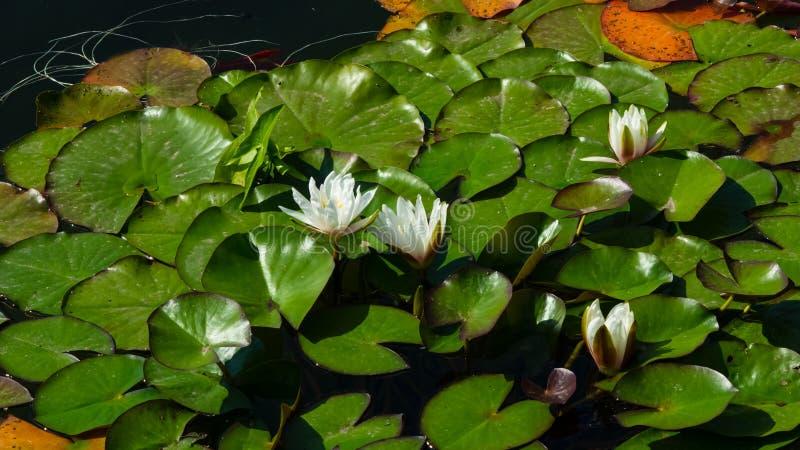 Europeiska vita Waterlily, vattenros eller Nenuphar, Nymphaeaalbum, blommor på dammnärbilden, selektiv fokus, grund DOF fotografering för bildbyråer