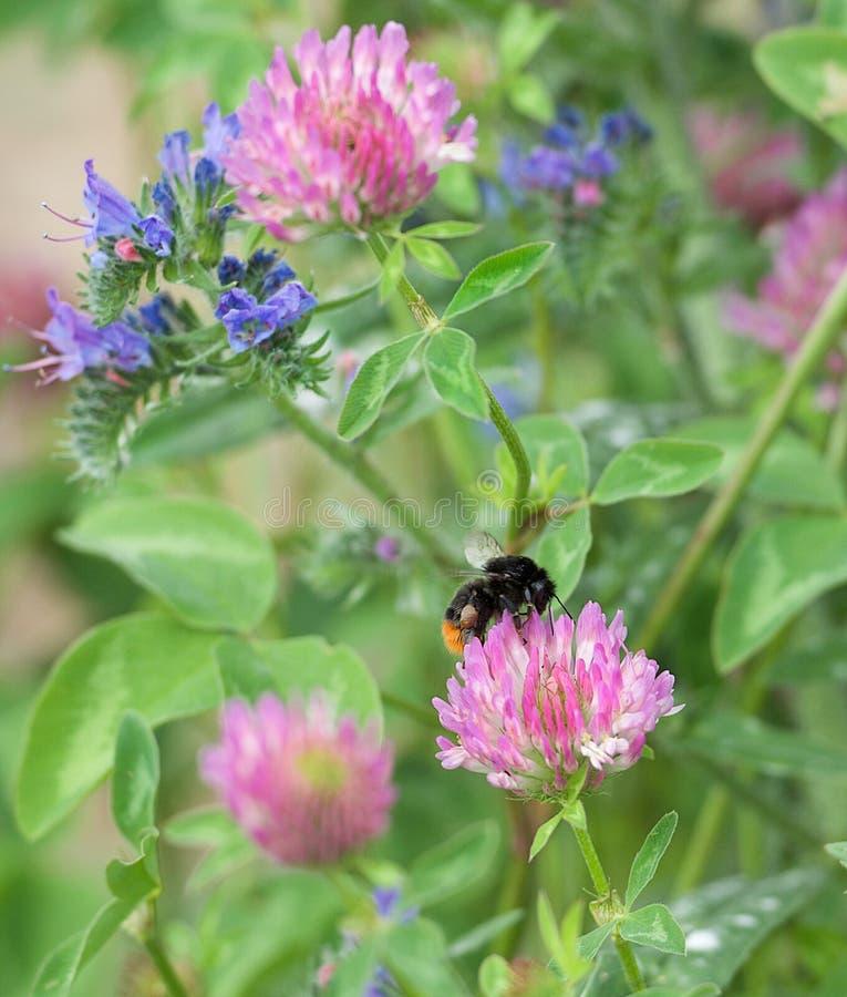 Europeiskt annalkande pollen för honungbiet (Apismellifera), Honey Bee plockningpollen från röda blåa rosa färger blomstrar blomm fotografering för bildbyråer