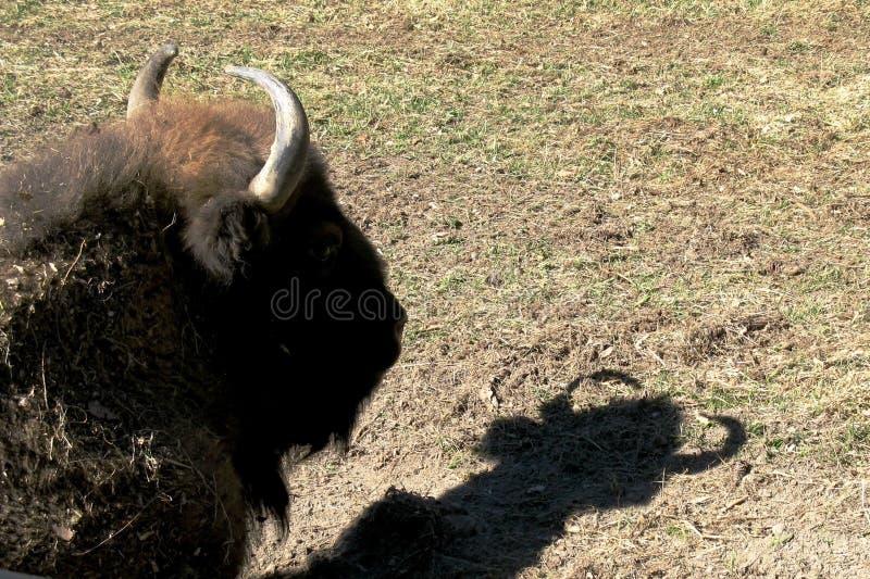 Europeiskt bisonhuvud och dess skugga arkivfoto