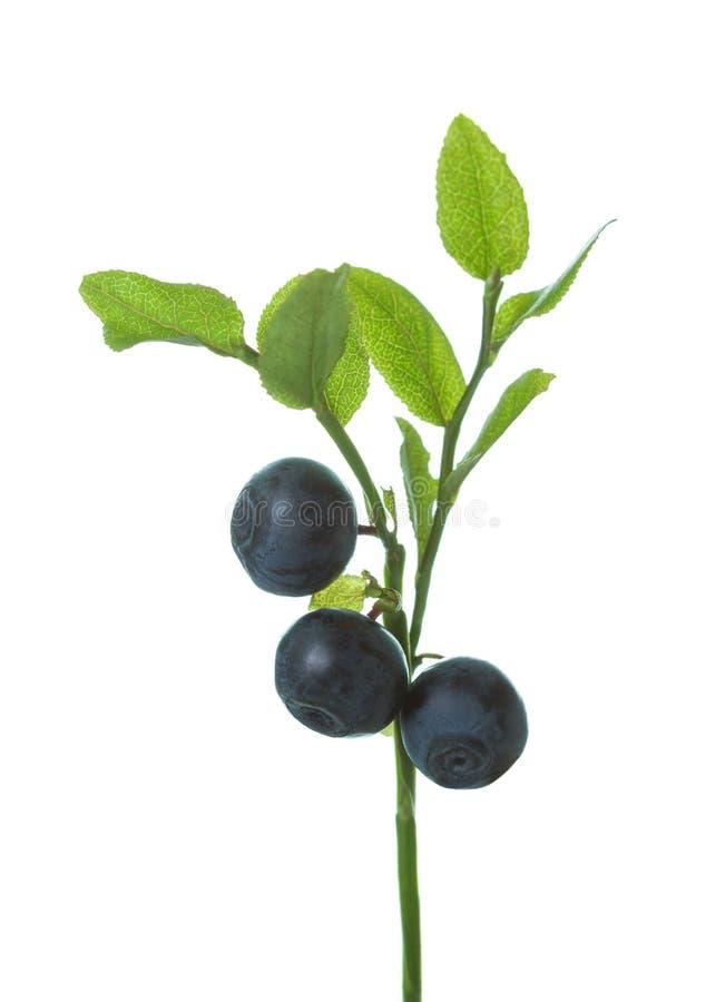 Europeiskt blåbär för mogna lösa skogblåbär på filial med gröna sidor som isoleras på vit bakgrund royaltyfria foton