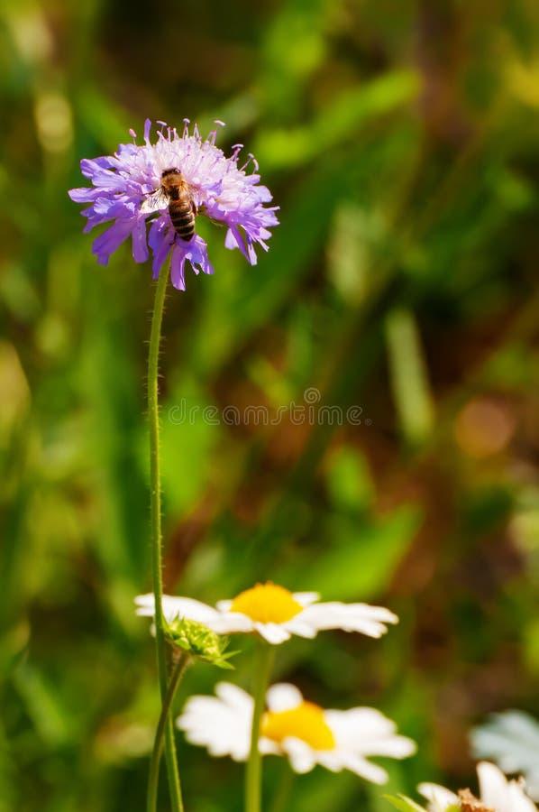 Europeiskt honungbi på den purpurfärgade blomman i våräng royaltyfri foto