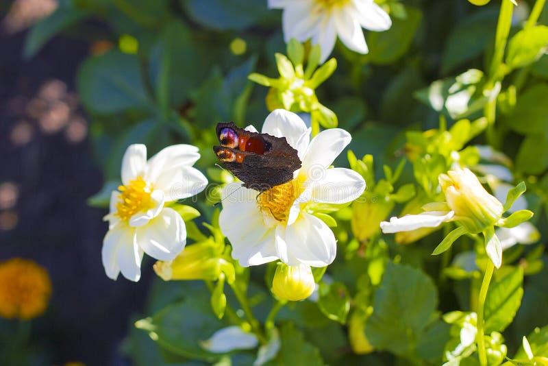Europeiskt påfågelsammanträde för fjäril på den vita blomman royaltyfria bilder
