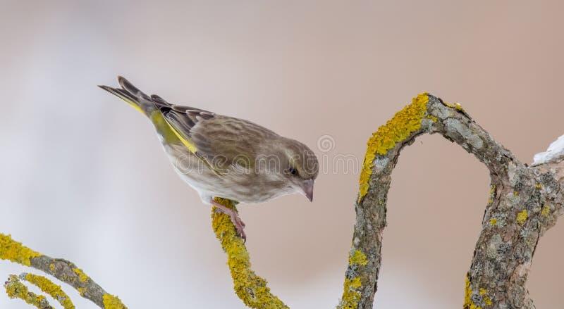 Europejczyk Greenfinch - Chloris chloris obrazy royalty free