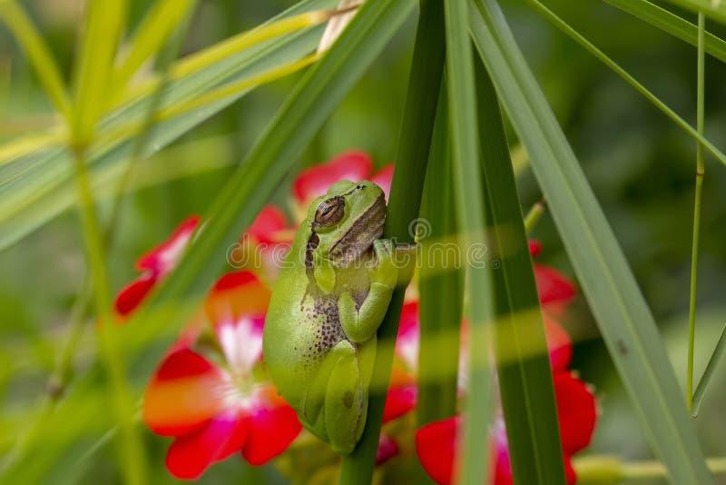 Europejczyk zielona drzewna żaba, Hyla arborea, odpoczywający dniem, kumka nocą w dzikim w ciborze uprawia ogródek zdjęcia stock