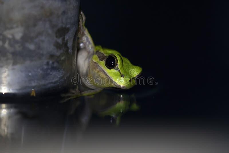 Europejczyk zielona drzewna żaba, Hyla arborea, odpoczywający dniem, kumka nocą w dzikim w ciborze uprawia ogródek zdjęcie royalty free