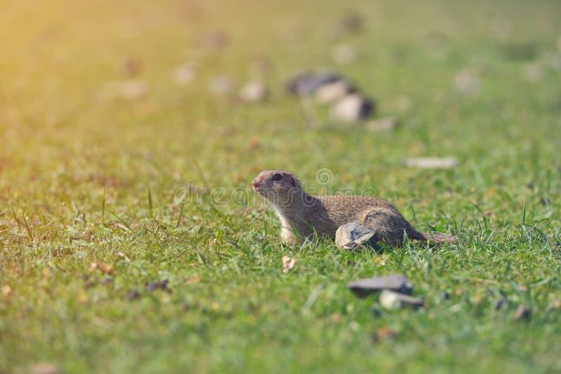 Europejczyk zmielona wiewiórcza pozycja w trawie Spermophilus citellus przyrody scena od natury Na łące zmielona wiewiórka obraz stock
