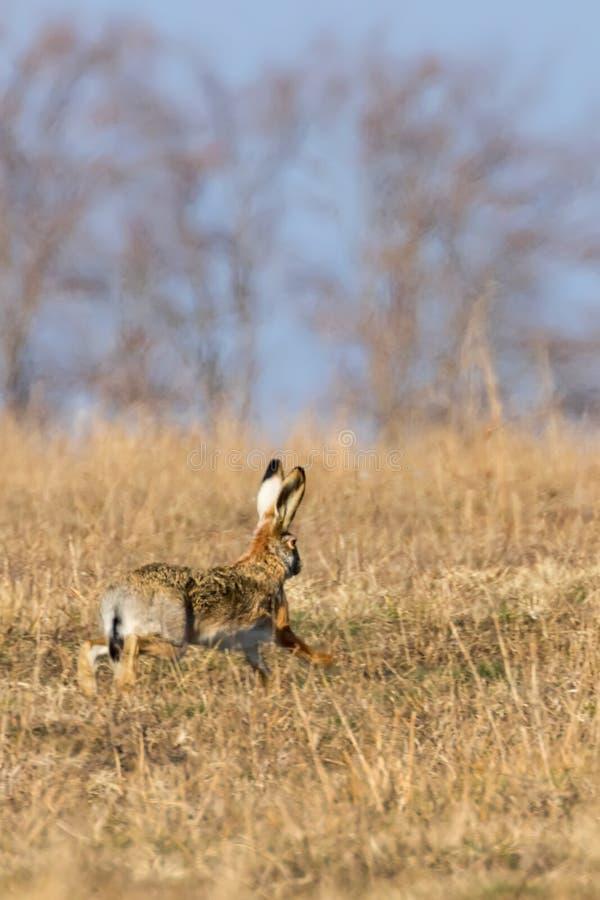 Europejczyka Brown Lepus europeaus Zajęczy bieg w śródpolnym wiosna czasie obrazy royalty free