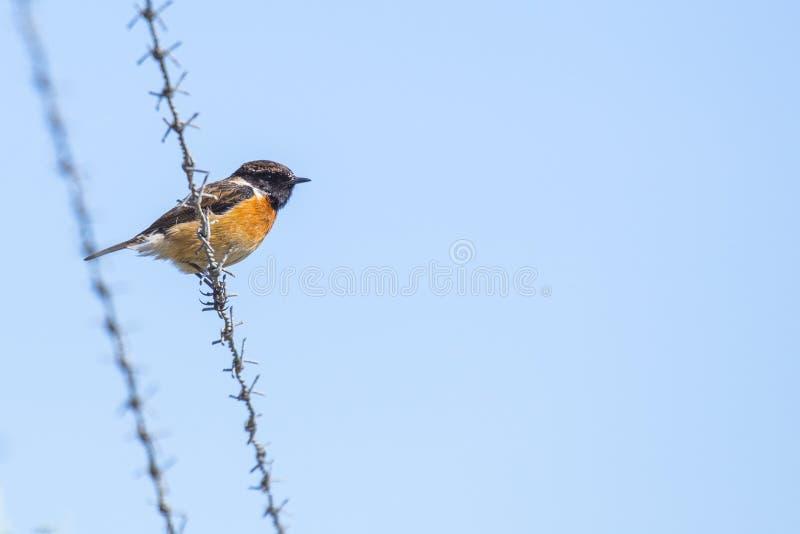 Europejczyka Stonechat Saxicola rubicola dostrzegający outdoors zdjęcie royalty free