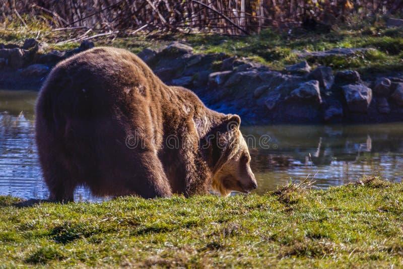 Europejscy niedźwiedzia brunatnego Ursus arctos arctos cieszy się skąpanie Commo fotografia royalty free