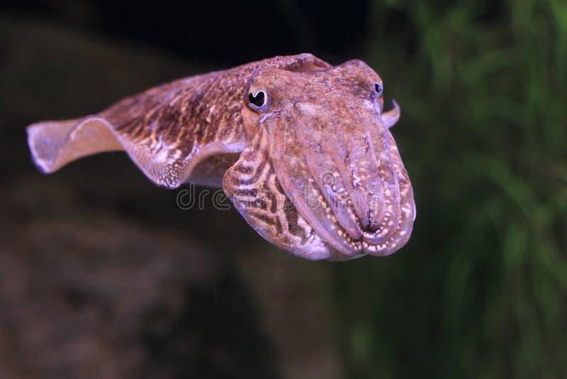 Europejscy pospolici cuttlefish obraz royalty free