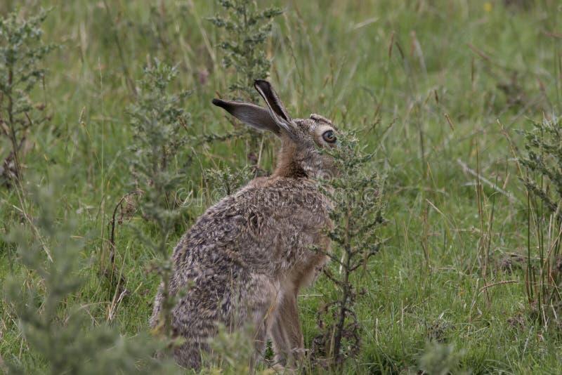 Europejska brown zając, obsiadanie kłaść i biega wśród wysokiej trawy, obrazy stock