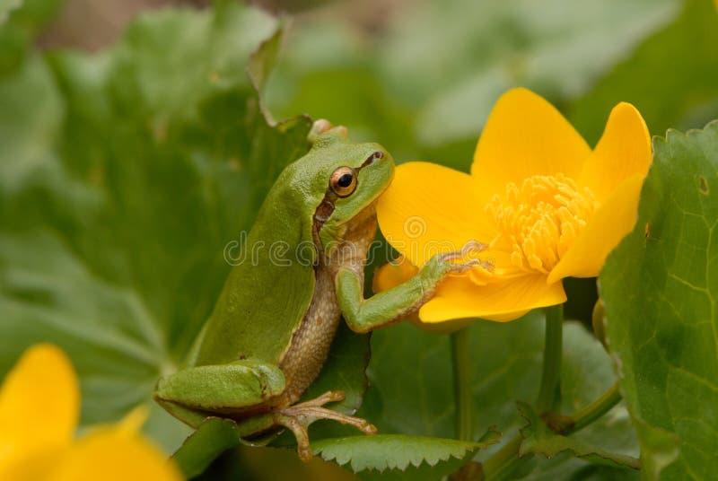 Europejska drzewna żaba (Hyla arborea poprzedni Rana arborea) zdjęcia stock